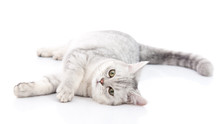 British Shorthair Cat Lying