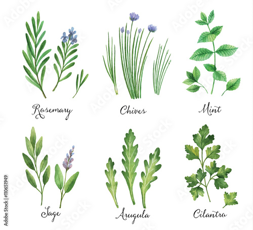 Watercolor vector hand painted set with wild herbs and spices.  - 110651949