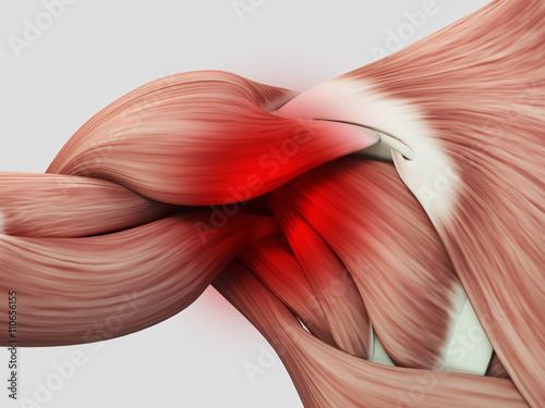 Fotografie, Tablou Human anatomy muscle shoulder. Pain or injury. 3D illustration.