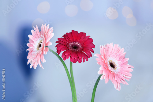 Fototapety, obrazy: Bouquet of gerbers on blurred garland light background, closeup