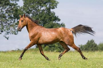 Nice arabian horse running