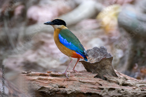 Photo  Blue-Winged Pitta in background style