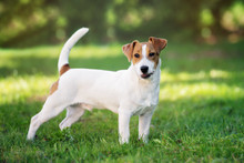 Young Jack Russell Terrier Dog...