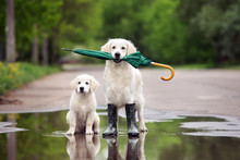 Golden Retriever And Puppy In ...