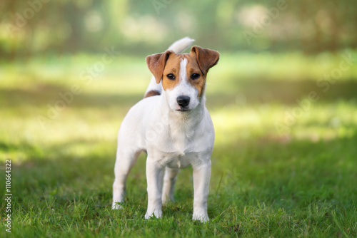 Obraz young jack russell terrier dog standing outdoors - fototapety do salonu