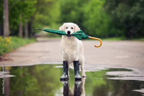 Fotografija  golden retriever dog in rain boots holding an umbrella