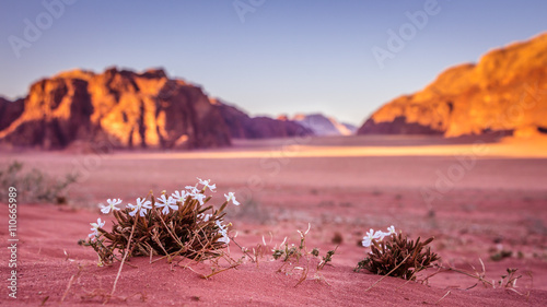 Photo Spring Wadi Rum desert - Valley of the Moon in Jordan. UNESCO Wo