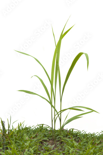 Foto auf AluDibond Ziehen Green grass isolated on white background.