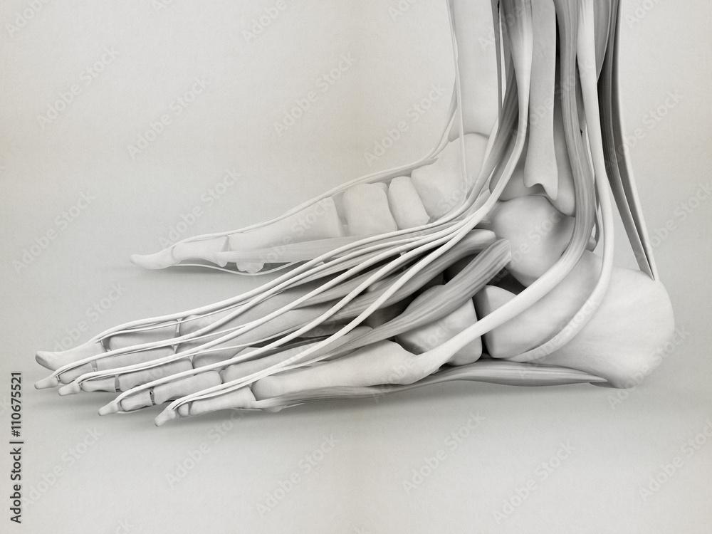 Human Anatomy Foot 3d Illustration Foto Poster Wandbilder Bei