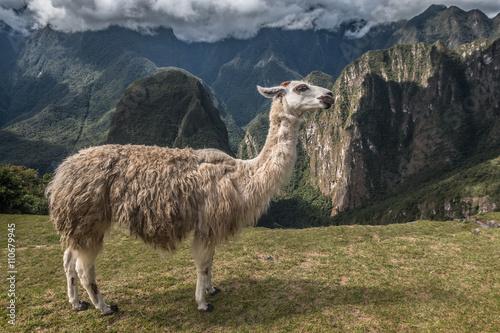 Foto op Canvas Lama Llama in Peru