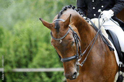 Photo  Head shot of a thoroughbred racehorse with beautiful trappings u