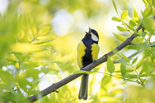 Bird Blue Tit Sings A Song Among The Young Green Of The Tree In Early Spring