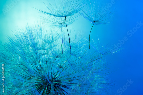 obraz dibond dandelion on the blue background