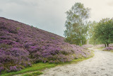 Morning at the heather fields - 110687919