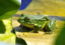 Marsh Frog Sits On The Leaf Of Water Lilies In A Pond