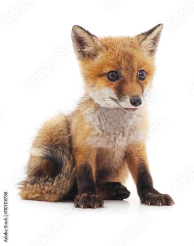 Little fox. Canvas Print