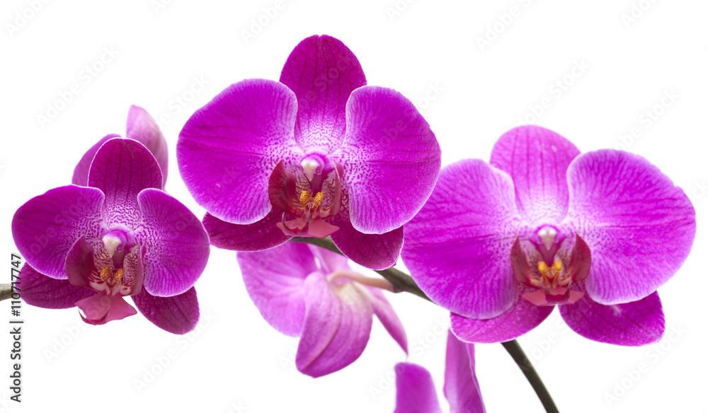 abundant flowering of magenta phalaenopsis