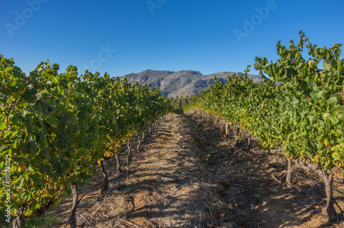 Staande foto Afrika The Cape Winelands region is the premier wine producing area of South Africa