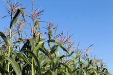Tassels Of Corn