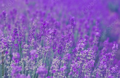 Spoed Fotobehang Lavendel Lavender field - aromatic herbal plantation.
