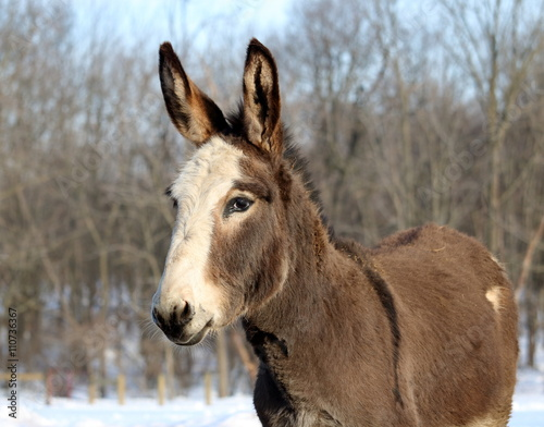 Mini donkey with ears perked against a background of snow and bare trees.