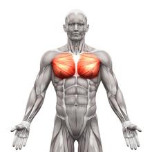 Chest Muscles - Pectoralis Maj...