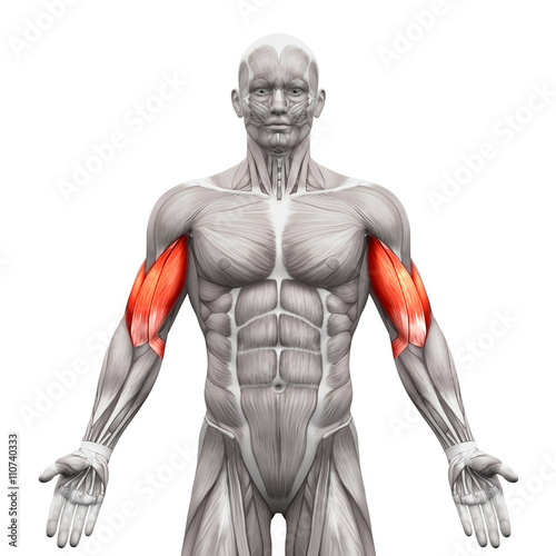 Leinwand Poster Biceps Muscles - Anatomy Muscles isolated on white