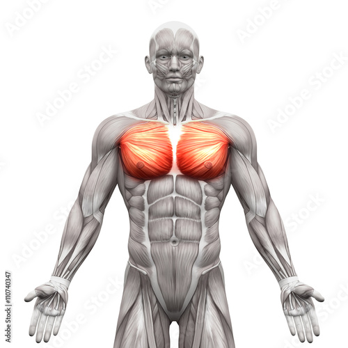 Chest Muscles - Pectoralis Major and Minor - Anatomy Muscles Fototapet