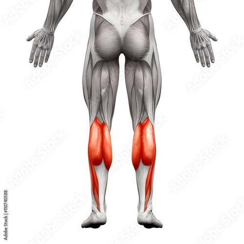 Fotografie, Obraz  Calf Muscle Male - Gastrocnemius, Plantar Anatomy Muscle