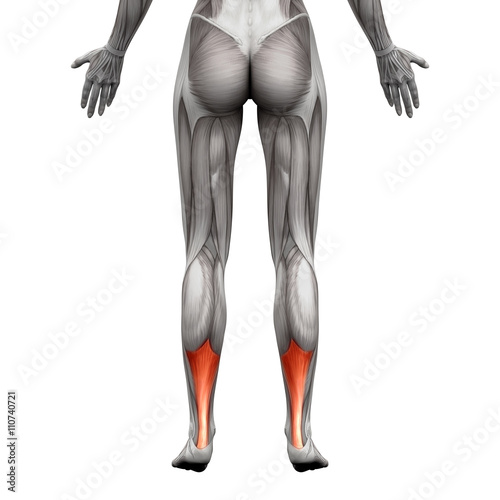 Achilles Tendon - Anatomy Muscle - isolated on white Wallpaper Mural