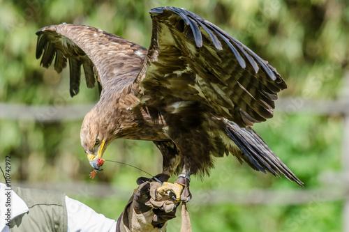Photo  Golden eagle training, Falconry exhibition, Italy