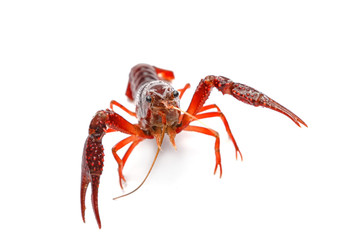 Red crayfish on white background