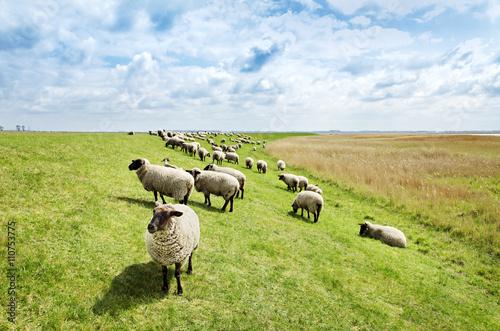 Keuken foto achterwand Schapen Schafe