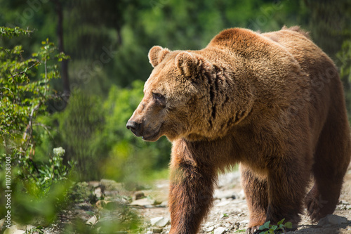Carta da parati  Bear in forest