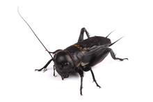 Field Cricket Isolated On White
