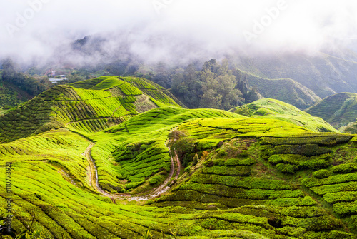 Photo  Tea plantation in Cameron Highlands, Malaysia