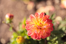 Pink Barbarry Ball Dahlia Flow...