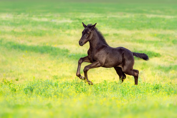 Black foal run gallop on spring pasture