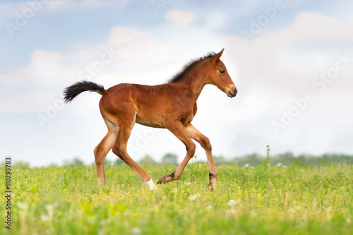 Bay foal run on spring pasture Canvas-taulu