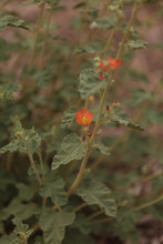 Small Orange Flowers Of Aprico...