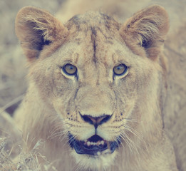 FototapetaClose lion in National park of Kenya