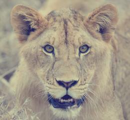 Fototapeta Lew Close lion in National park of Kenya