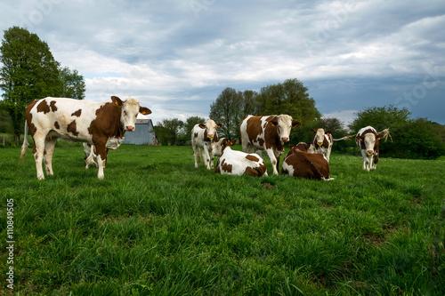 Photo Troupeaux vaches