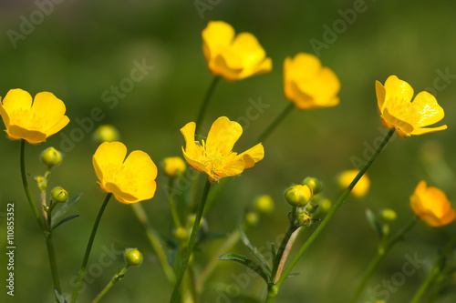 Meadow Buttercup (Ranunculus acris), close-up of flower Canvas Print