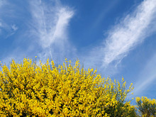 Gorse Flower And Blue Sky With Clouds