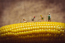 Closeup Of Farmers With Corn C...