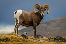 """Big Horn"" Big Horn Sheep Trav..."