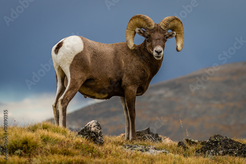 "Photo ""Big Horn"" Big Horn Sheep traversing the Continental Divide in Rocky Mountain National Park"