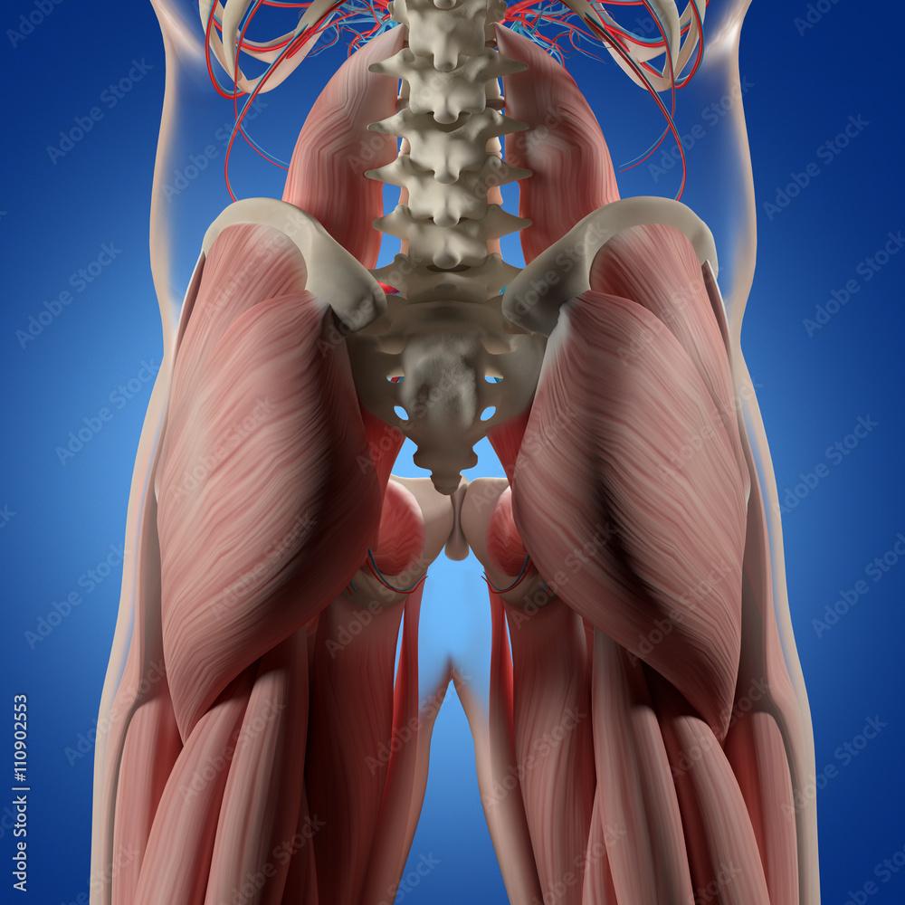 Human Anatomy Spine Pelvis And Gluteus Maximus Foto Poster