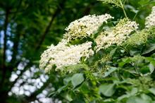 Elderberry (Sambucus Nigra) Flower.
